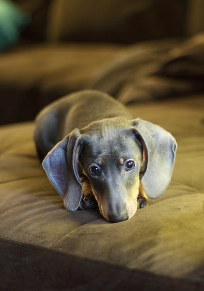 Blue dachshund looker
