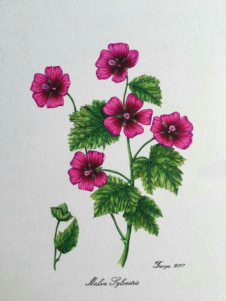 Ballpoint Pen drawing  Malva Sylvestres
