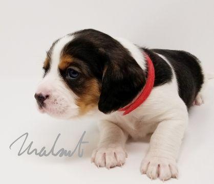 Beaglier puppy for sale in CANOGA PARK, CA. ADN-59066 on PuppyFinder.com Gender: Male. Age: 6 Weeks Old