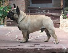 Bouledogue français (101) (French Bulldog) -  Uniformly fawn, brindled or not, with limited white patching Variety - France