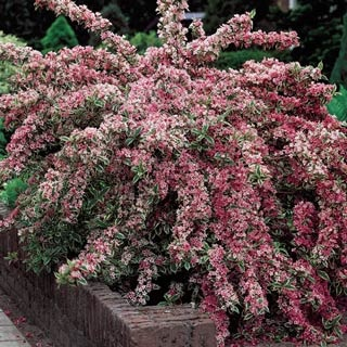 Pink Splash Variegated Weigela  Light: Full sun to partial shade  Height: 4-6'  Bloom Time: Late spring to fall  Zones: 3 to 8  $8