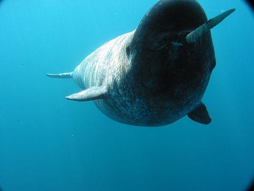 Marine mammal the nawhal monoceros essay