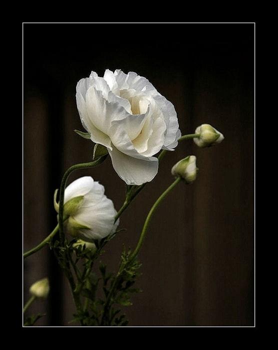 White buttercups by Lorenzo Gizzi, via 500px