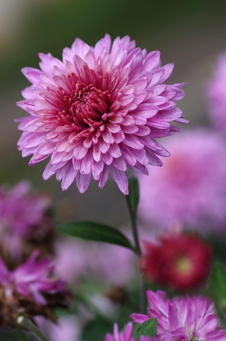 Chrysanthemum - March birthday flower