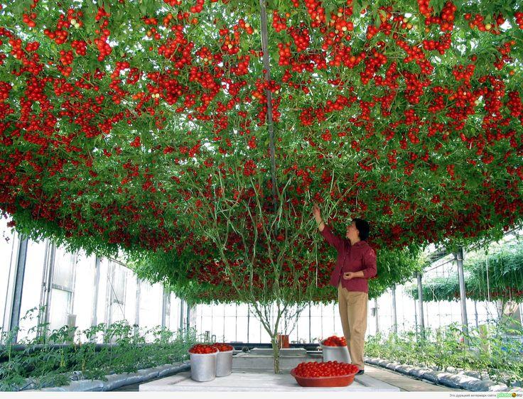 Выращивание томатов на аквапонике
