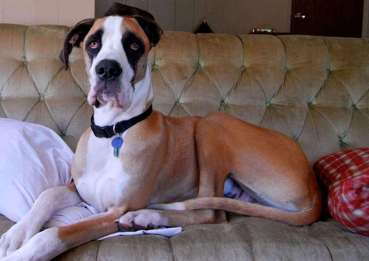 Najveći psi na svetu izgledaju impozantno, ali ih se mnogi ljudi plaše kao da je reč o divljim zverima. Ali kada se jednom sprijateljite, Veliki psi