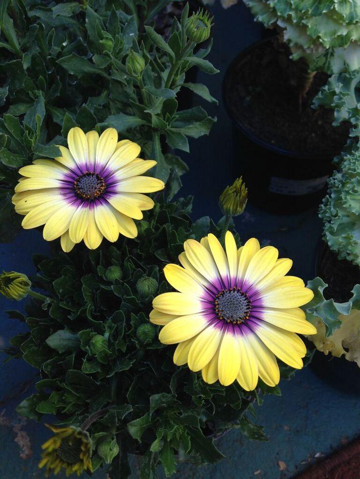 Geel met effense pers - Kaapse daisy July 2015