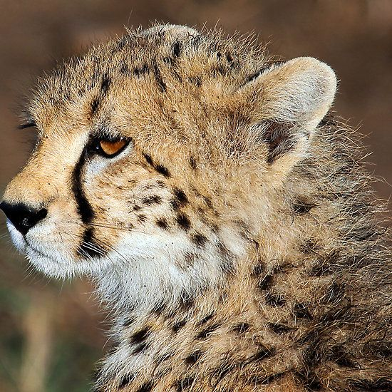 cheetah demography and cheetahs unique gene The appearance is caused by a mutation in a recessive gene as a result, if two mating cheetahs have  the pronounced tear streaks are unique to the cheetah.