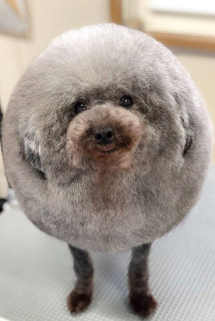 Animal Lovers Go Wild Over Adorable Fluffball Dog Groomed Into Perfect Circle Video Dog Groomers Dog Grooming Dog Haircuts