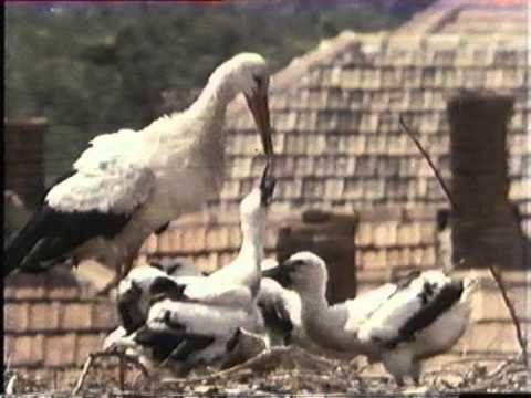 Magyarország állatvilága 3. A dámvad - YouTube