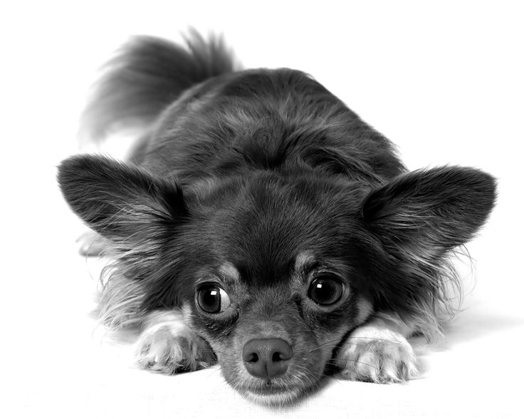 1000 Ideas About Long Haired Chihuahua On Pinterest