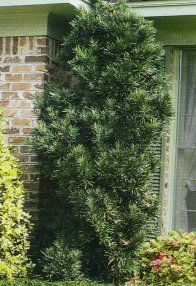 yews shrubs variety | japanese yew the japanese yew is quite a versatile shrub that does ...