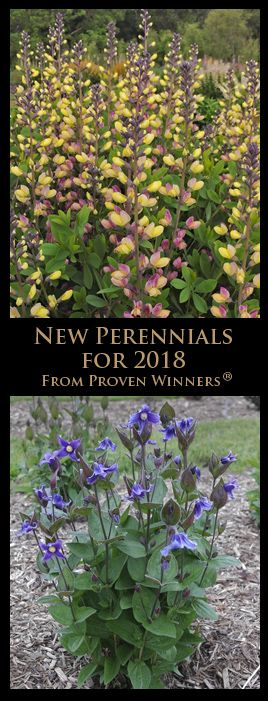 Bush Clematis 'Stand by Me'. Photo courtesy of Proven Winners® This is not a sponsored post, so I feel free to say that I have m...