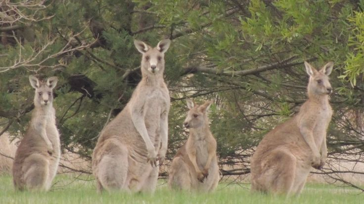 Kangaroos in Dunkeld, Southern Grampians, Victoria by JillB