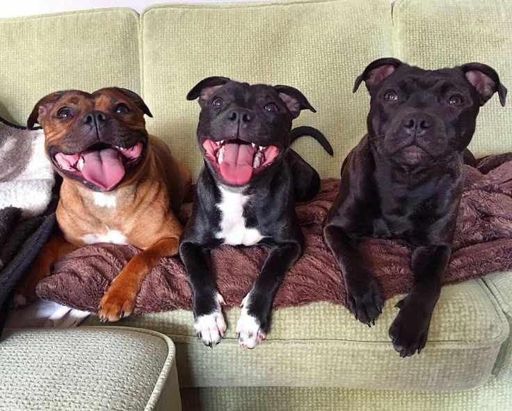 Staffies! ❤