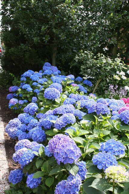 Hortensia (Hydrangea) Blue (Container Plant) - Order Plants online