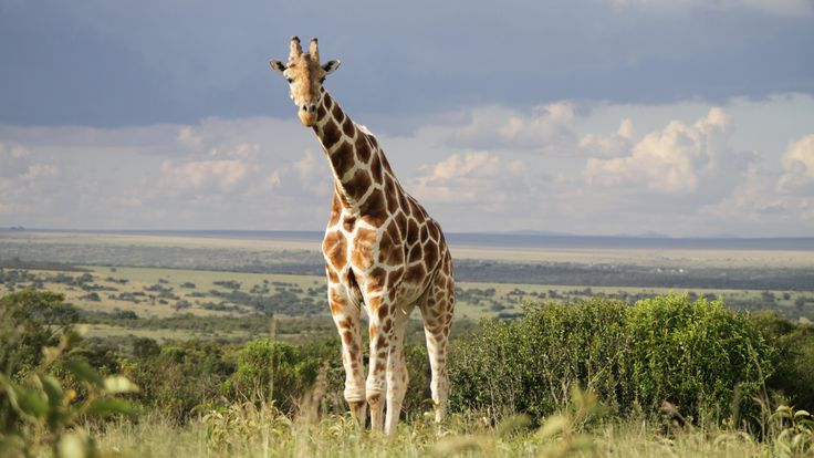 giraffe image: Full HD Pictures, 3840x2160 (908 kB)