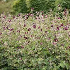 Image result for geranium phaeum