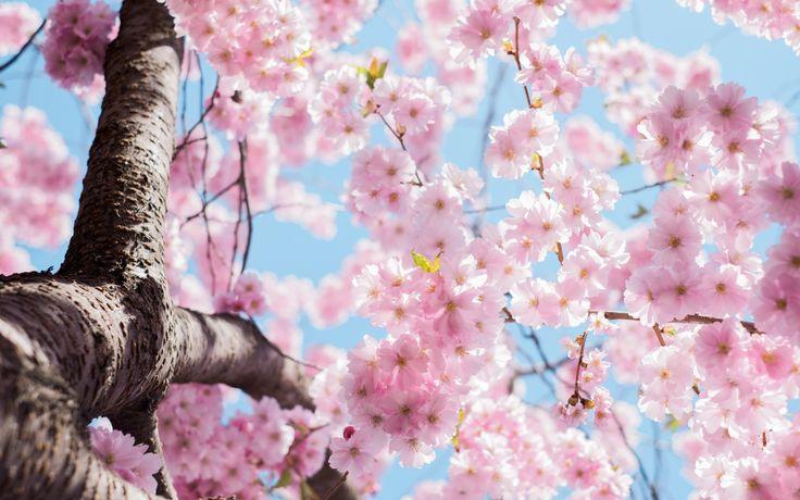 Sakura kiraz çiçekleri-Kiraz çiçekleri