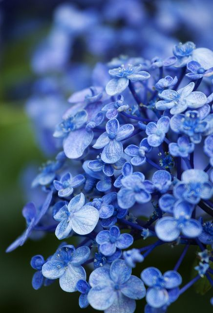 Oh How I Love Hydrangeas x  www.wisteria-avenue.co.uk