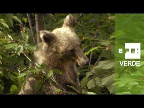 Un festín de frutas para mejorar el hábitat del oso pardo