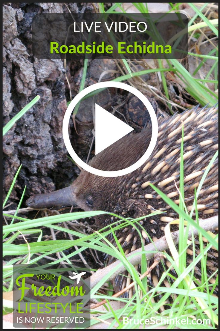 Getting up-close and personal with a very rare echidna in the surf-town of Lorne, Australia.
