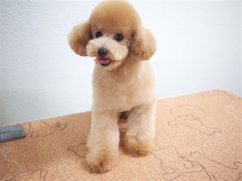 Purely BLOG | customers beauty, poodle school, dog show information, YouTube delivery