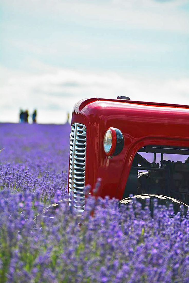 The tractor at Mayfield Lavender field in Banstead, Surrey