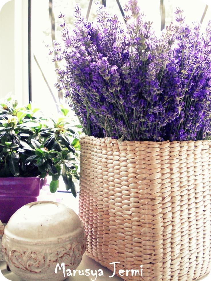 Crimean Lavender on my sill