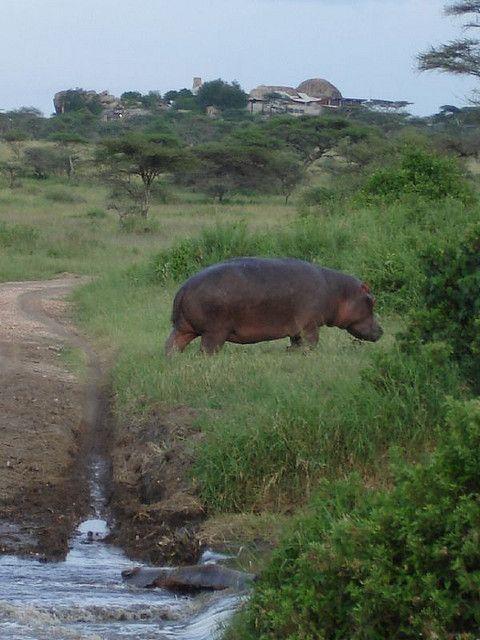 hippopotamus in Serengeti National Park by kai|kre, via Flickr