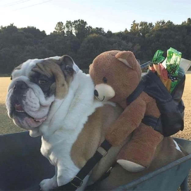 Puggy Got This Bear Since One Year Old Bulldogs Cutebulldogs