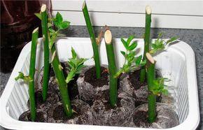 """""""Тройчатка"""" для проращивания роз"""