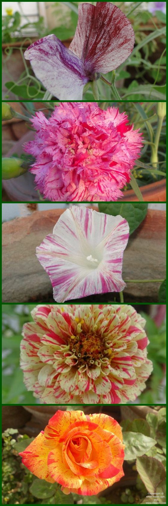 A COLLECTION OF STRIPED FLOWER PICTURES #stripedflowers #gardening #beautifulflowers #stripedroses