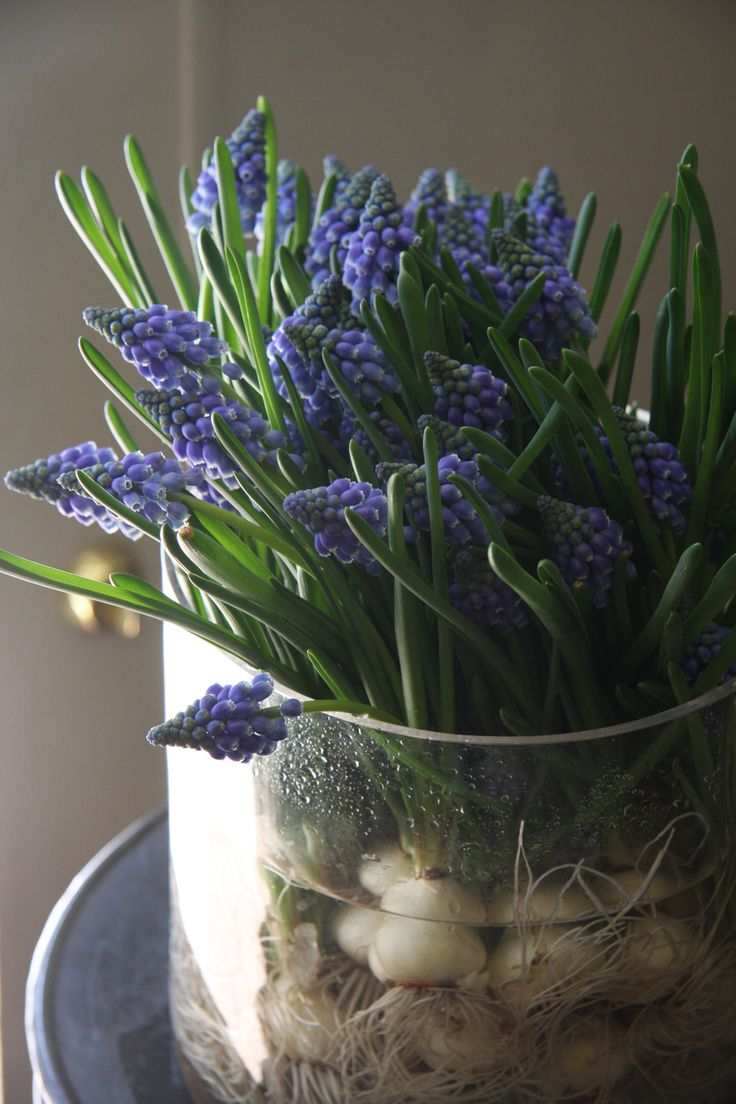 My grape hyacinths have just started to bloom indoors on my windowsill spring flowers - Planting hyacinths indoors ...
