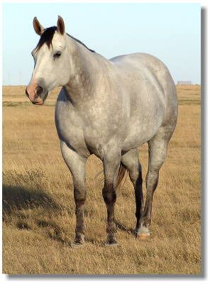 Pretty Grey Quarter Horse!