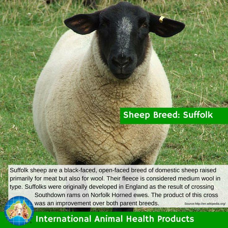 #suffolksheep #suffolk #sheep #ram #ewe #lamb #sheepbreed #breed #facts #green #iah #iahp #internationalanimalhealth #poultry #animal #facts #breeds #livamol #protexin