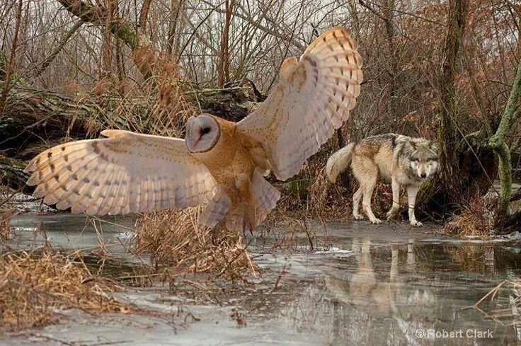owl  u0026 wolf