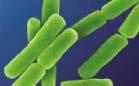 Bacillus anthracis es una especie del género de bacterias Gram positivas Bacillus.