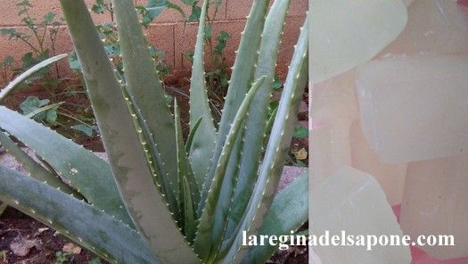 La Regina del Sapone: estrazione del gel di aloe vera da pianta fresca