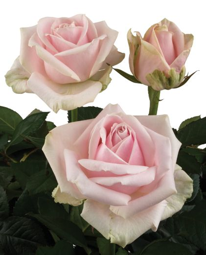 Sweet Avalanche - cream, warm pink that darkens as the rose opens.  Darkest of the pale pinks.  Lovely full and large rose head.