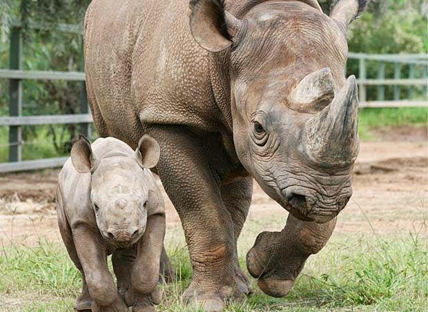 PETALI DI CILIEGIO ...per coltivare la speranza: In difesa degli animali: i rinoceronti