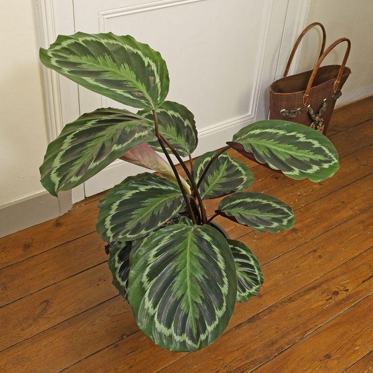 les 11 meilleures images du tableau plantes d 39 int rieur originales sur pinterest annonce. Black Bedroom Furniture Sets. Home Design Ideas