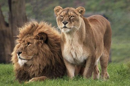 """LION FACTS #1 🦁: """"All Lions are ONE species (Panthera leo) with subspecies (7 African + 1 Asian). The Lion is a big cat belonging to thePantheragenus and familyFelidae. The lion is the second largest cat species after the tiger. Lions are expert predators & scavengersand are mainly nocturnal by nature. Wikipedia.""""        [Image:  """"YWP-Lions-450x300.jpg (450×300).""""]"""