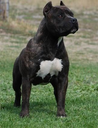 Gaff's Thief Of Gold, a black brindle American Staffordshire Terrier. Owned by Mount Brier Farms.