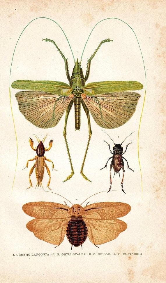 1891 Entomology Chromolithograph:Locust, Gryllotalpa. Cricket, Antique