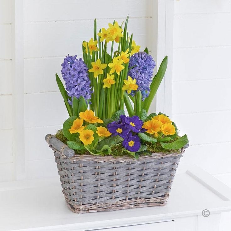 Classic Spring Basket - It's wonderful to see the vibrant colour and freshness of spring flowers when they first appear – so we've captured that moment with this stunning planted basket. All the classic favourites are here, including these delightful mini daffodils at the very heart of this lovely display. #Spring #Flowers