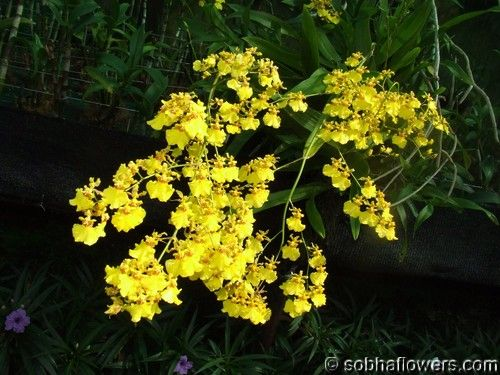 Oncidium Orchid - the cutest little orchids in various colours