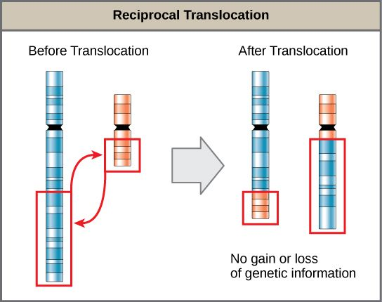 Image result for chromosomal translocation