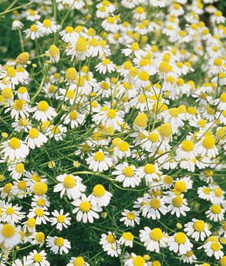 Chamomile, German. Fragrant. Small white daisies are fragrant, used in brewing a calming herbal tea, making perfumes and hair rinses. Start early indoors or outdoors after danger of frost. Sun: Full Sun - Height: 2-3  feet - Days to Maturity: 60-90  days - Sowing Method: Direct Sow/Indoor. #gardening #herbs www.burpee.com/herbs/chamomile/chamomile-german-prod000466.html