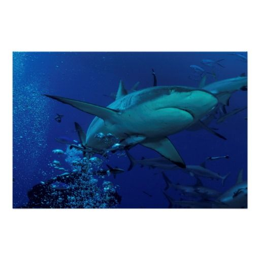 Grey Reef Shark at Osprey Reef Poster